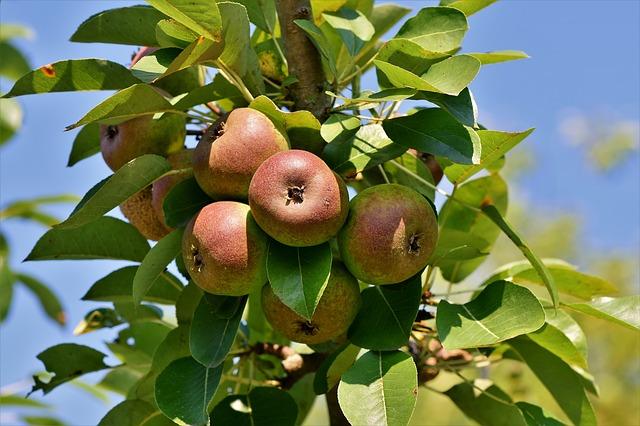 Sloupovitá jabloň